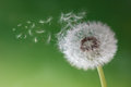 Dandelion clock in morning mist seeds the blowing away across a fresh green background Stock Image