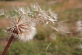 Dandelion clock with seeds blowing away Royalty Free Stock Photo