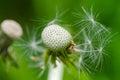 Dandelion clock taraxacum officinale macro picture of Stock Images