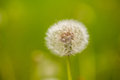 Dandelion clock white in a green field Stock Photo