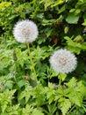 Dandelion Clocks & Wishes