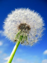 Dandelion close-up Stock Photography