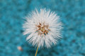 Dandelion a close up of a with blue background Royalty Free Stock Photos
