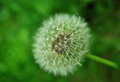Dandelion close up look of head on the green background Stock Photo