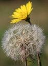 Dandelion Close Up Nature