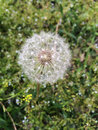 Dandelion closeup with blur background Stock Photography