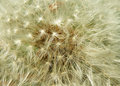 Dandelion closeup macro detail of in summer time Stock Photo