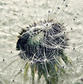 Dandelion closeup of a taraxacum officinale Stock Image