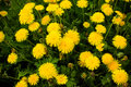 Dandelion clump bright shallow dof Stock Image