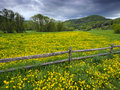 Dandelion covered field green of dandelions in the mountains of vermont usa Royalty Free Stock Photo
