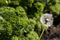 Dandelion and curly parsley near leaves Stock Photo