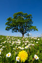 Dandelion and daisy flowers Royalty Free Stock Images