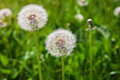 Dandelion, Dandelions flower, Seeds of dandelion. Royalty Free Stock Photo