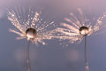 Dandelion with drops of water in a beautiful tonality. Macro of a dandelion