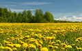 Dandelion field and blue sky Royalty Free Stock Photo