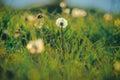 Dandelion field blue sky and sunlight. Royalty Free Stock Photo