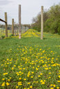 Dandelion field a of dandelions early spring Royalty Free Stock Photo