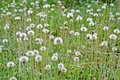 Dandelion field nature environment focus on details Royalty Free Stock Images