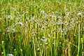Dandelion field after strong wind nature background Royalty Free Stock Photos