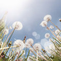 Dandelion Field Summer Royalty Free Stock Photo