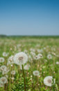 A dandelion field in the summer with copy space on blue sky Royalty Free Stock Photo