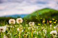 Dandelion field at sunrise in mountains Royalty Free Stock Photo