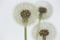 Dandelion florescence Stock Images