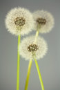 Dandelion florescence Royalty Free Stock Photos
