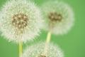 Dandelion florescence Stock Image