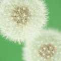 Dandelion florescence (macro) Royalty Free Stock Photo