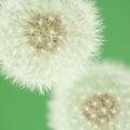 Dandelion florescence (macro) Royalty Free Stock Photo