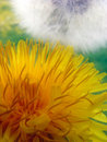 Dandelion flower Stock Photo