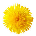 Dandelion Flower Stock Photos