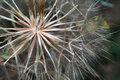 Dandelion flower abstract natural background Royalty Free Stock Photos