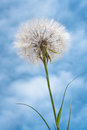 Dandelion flower against blue sky clouds Royalty Free Stock Photos