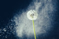 Dandelion flower against water particles background Royalty Free Stock Photo