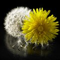 Dandelion flower and blowball in black reflective back Royalty Free Stock Photos