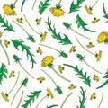 Dandelion flower, bud, leaves hand drawn vector ink color sketch