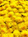 Dandelion flower close up Royalty Free Stock Photos