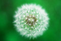 Dandelion flower close up Stock Photo
