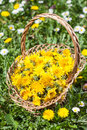 Dandelion flower collected in a basket on meadow Stock Photos