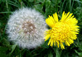 Dandelion flower and dandelion seeds Royalty Free Stock Photo