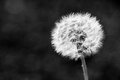 Dandelion flower on dark background Royalty Free Stock Photo