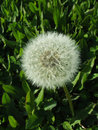 Dandelion flower and grass with green on the background Stock Photos