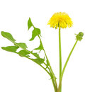 Dandelion flower isolated on a white background Stock Images