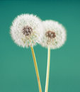 Dandelion flower on light green color background, many closeup object Royalty Free Stock Photo