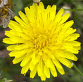Dandelion flower macro of a common taraxacum officinale Royalty Free Stock Image
