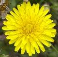 Dandelion flower macro of a common taraxacum officinale Royalty Free Stock Image