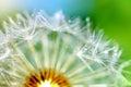 Dandelion flower macro on a green background Royalty Free Stock Photo