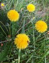 Dandelion flower photo of few flowers an a small fly Royalty Free Stock Photography